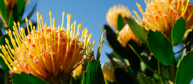 Flora of the Western Cape